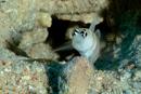 Steinitz räksmörbult (Amblyeleotris steinitzi)