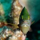 Jewel damselfish (Plectroglyphidodon lacrymatus)