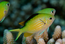 Bluegreen puller (Chromis virides)