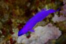 Fridmans dvärgabborre (Pseudochromis fridmani)