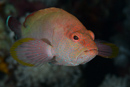 Halfspotted grouper (Cephalopholis hemistiktos)