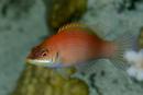 Strimmig läppfisk (Pseudocheilinus evanidus)