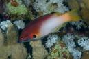 Axilspot hogfish (Bodianus axillaris)