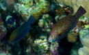Fläckig papegojfisk (Calotomus viridescens)