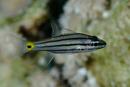 Fiveline cardinalfish (Cheilodipterus quinquelineatus)