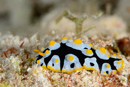 the nudibranch Phyllidia rueppelii