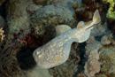 Torpedo ray (Torpedo phantera)