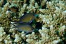 Arabisk frökenfisk (Chromis flavaxilla)