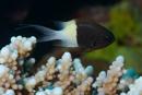 Svartvit frökenfisk (Chromis dimidiata)