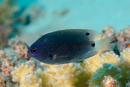 Blekstjärtad frökenfisk (Pomacentrus trichrourus)