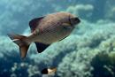 Högfenad svartfisk (Kyphosus cinerascens)