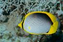 Svartryggad fjärilsfisk (Chaetodon melannotus)