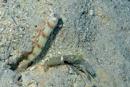 Steinitz räksmörbult (Amblyeleotris steinitzi) med Djedda pistolräka (Alpheus djeddensis)