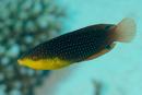 Twists läppfisk (Anampses twistii)