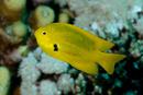 Citronfrökenfisk (Pomacentrus sulfureus)