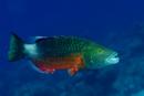 Kindbandad läppfisk (Oxycheilinus digramma)