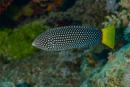Gulstjärtad läppfisk (Anamses meleagrides)