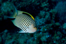 Lyretail angelfish (Genicanthus caudovittatus) male