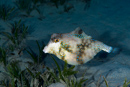 Pyramidkoffertfisk (Tetrosomus gibbosus)