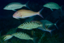 Longface emperor (Lethrinus olivaceus) with Smallspot goatfish (Parupeneus heptacanthus) in upper center