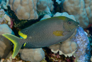 Stellate rabbitfish (Signatus stellatus)