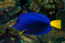 Gulstjärtad tang (Zebrasoma xanthurum)