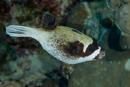 Maskerad blåsfisk (Arothron diadematus)