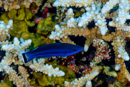Fourline wrasse (Larabicus quadrilineatus)