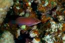 Sexradig läppfisk (Pseudocheilinus hexataenia)