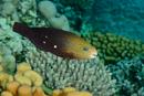 Kulhövdad papegojfisk (Chlorurus sordidus)