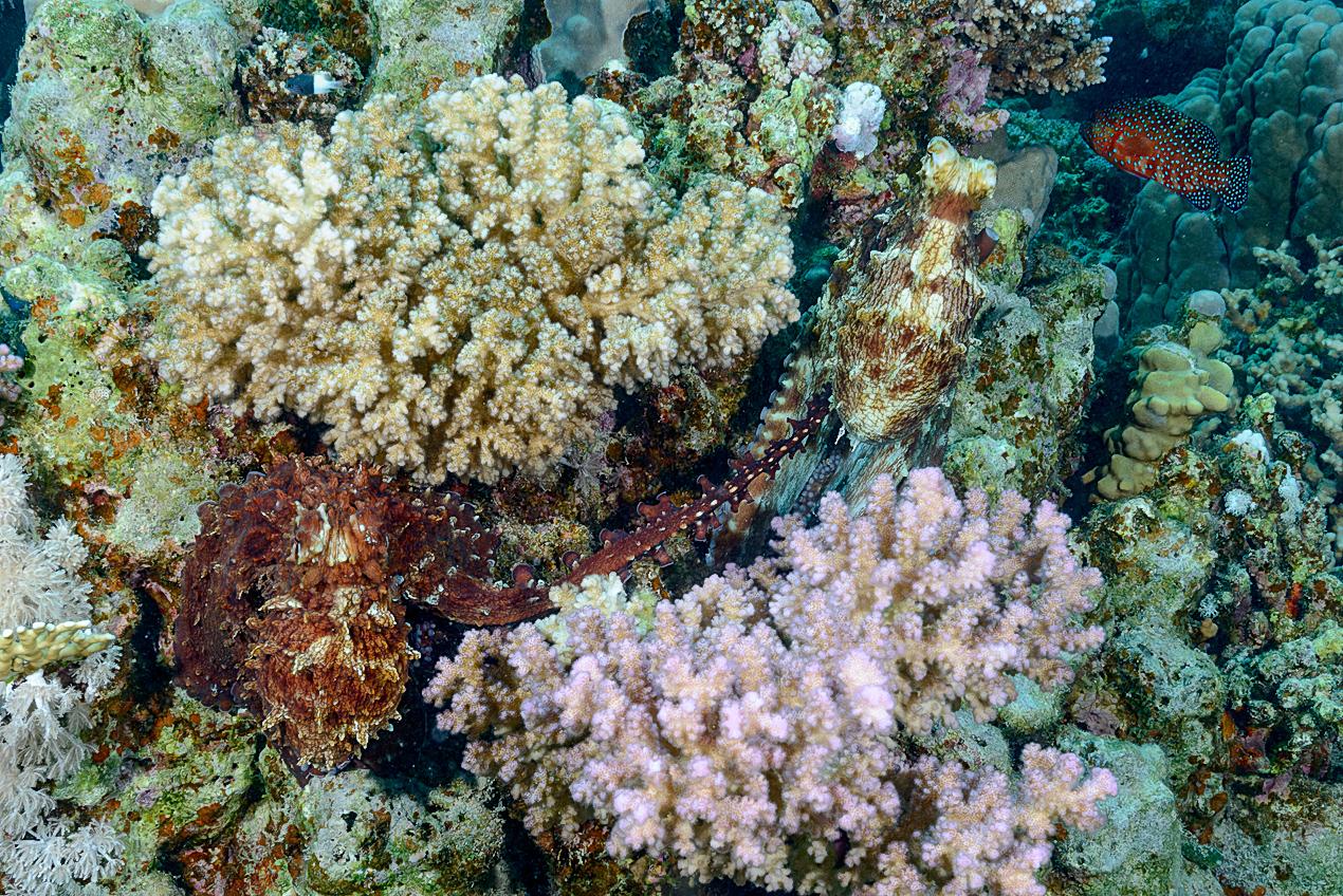 Revbläckfisk (Octopus cyaneus) parar sig