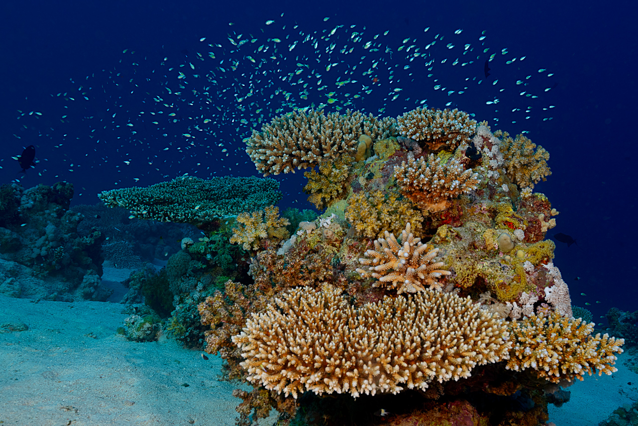 Healthy corals with a cload of green puller