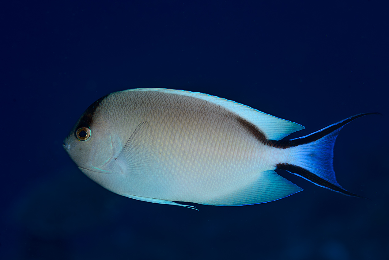 Lyretail angelfish (Genicanthus caudovittatus) female