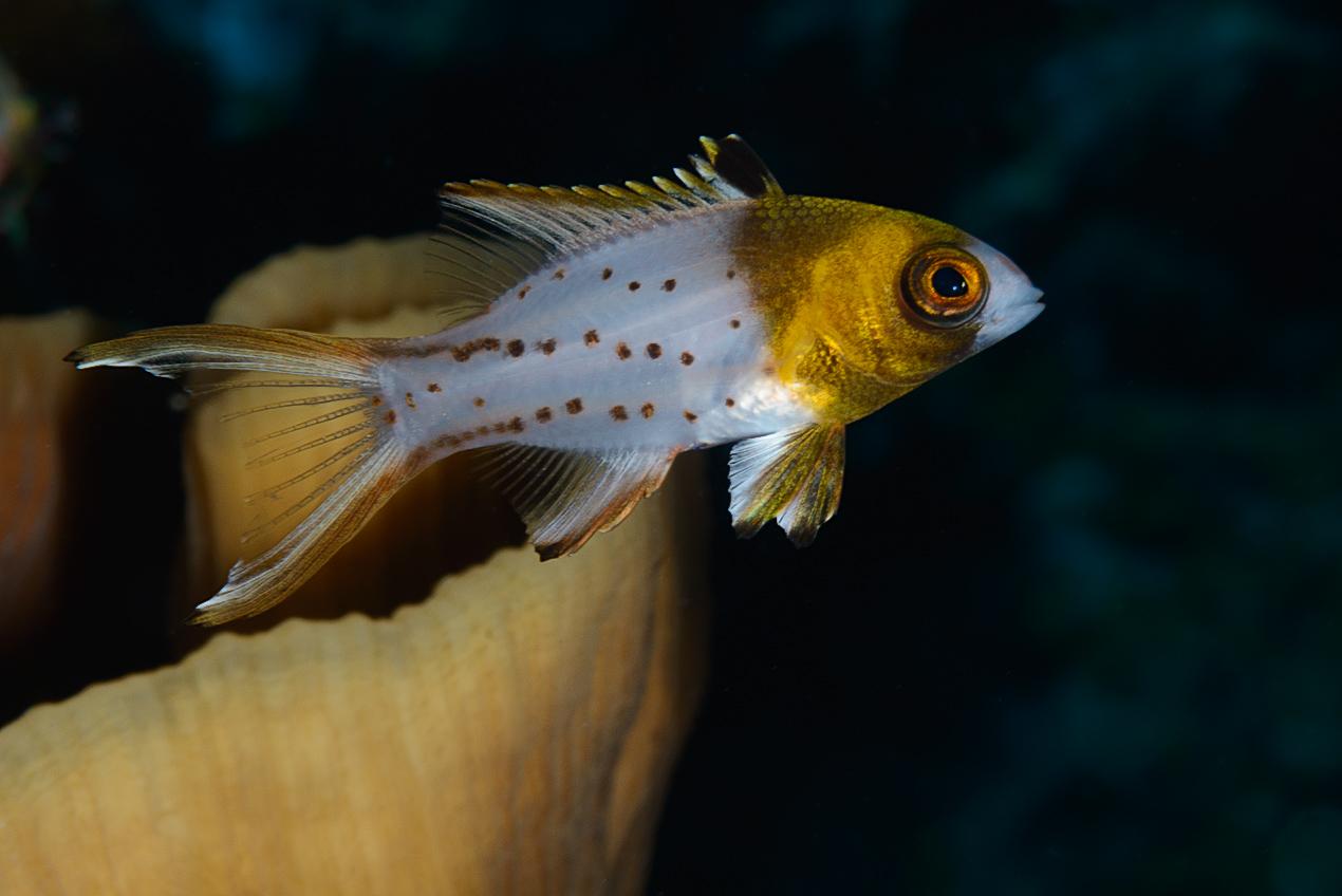 Lyretail hogfish (Bodianus anthioides) juvenile
