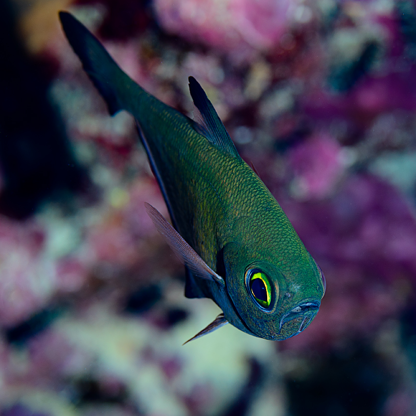 Vanikoro sweeper (Pempheris vanicolensis)