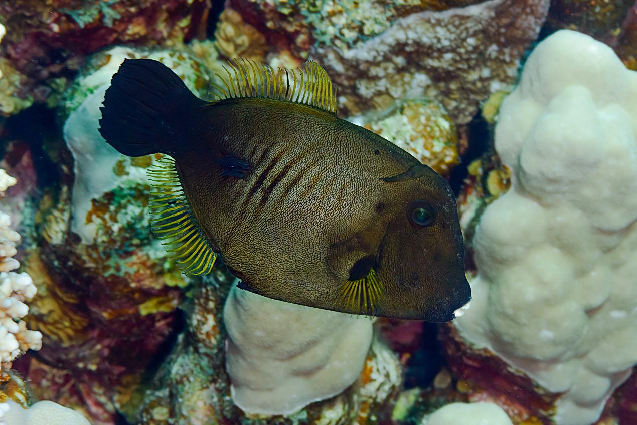 Broom filefish (Amanses scopas)
