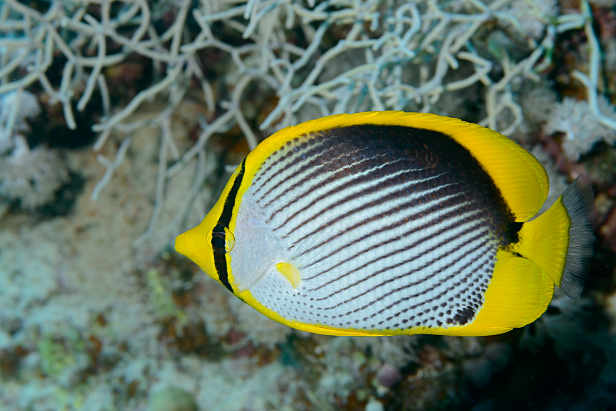 Blackbacked butterflyfish (Chaetodon melannotus)
