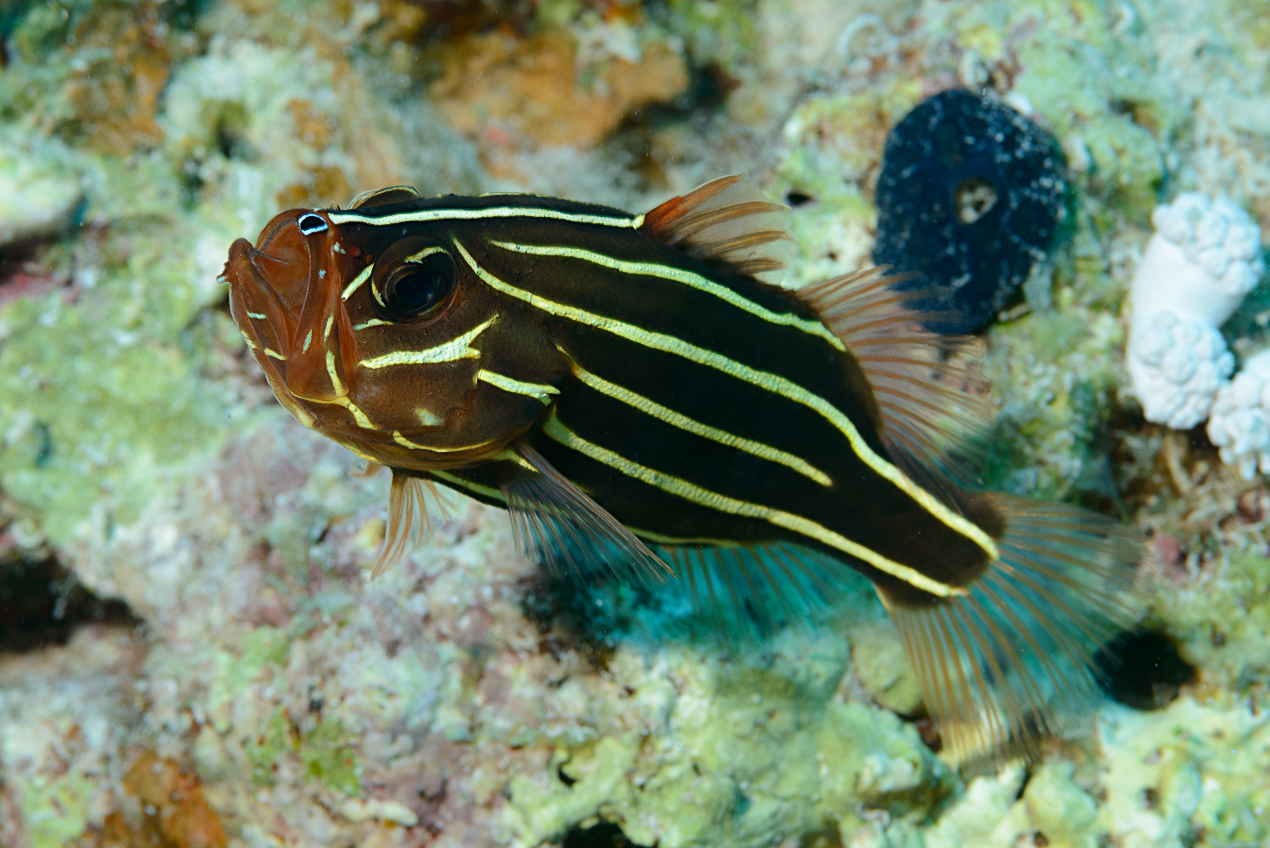 Sixstriped soapfish (Grammistes sexlineatus)