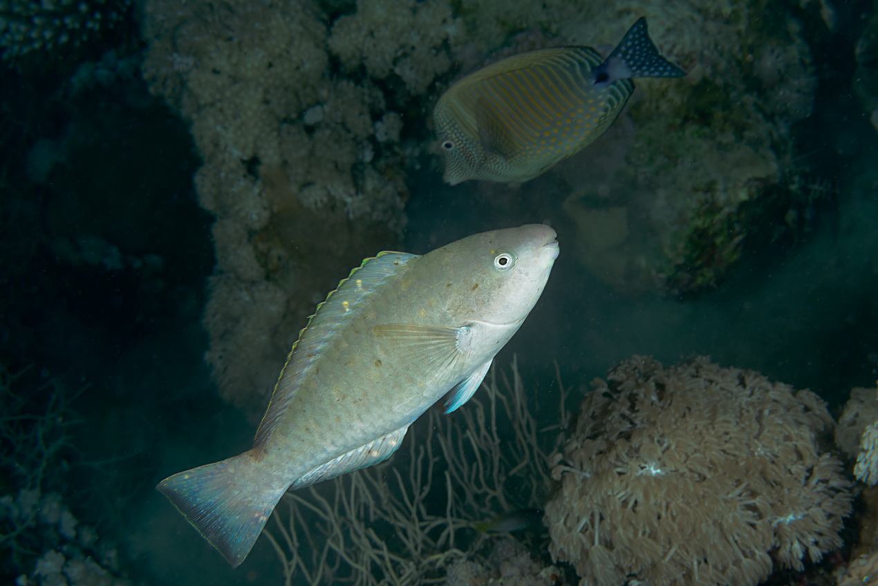 unidentified parrotfish (Scarus sp)
