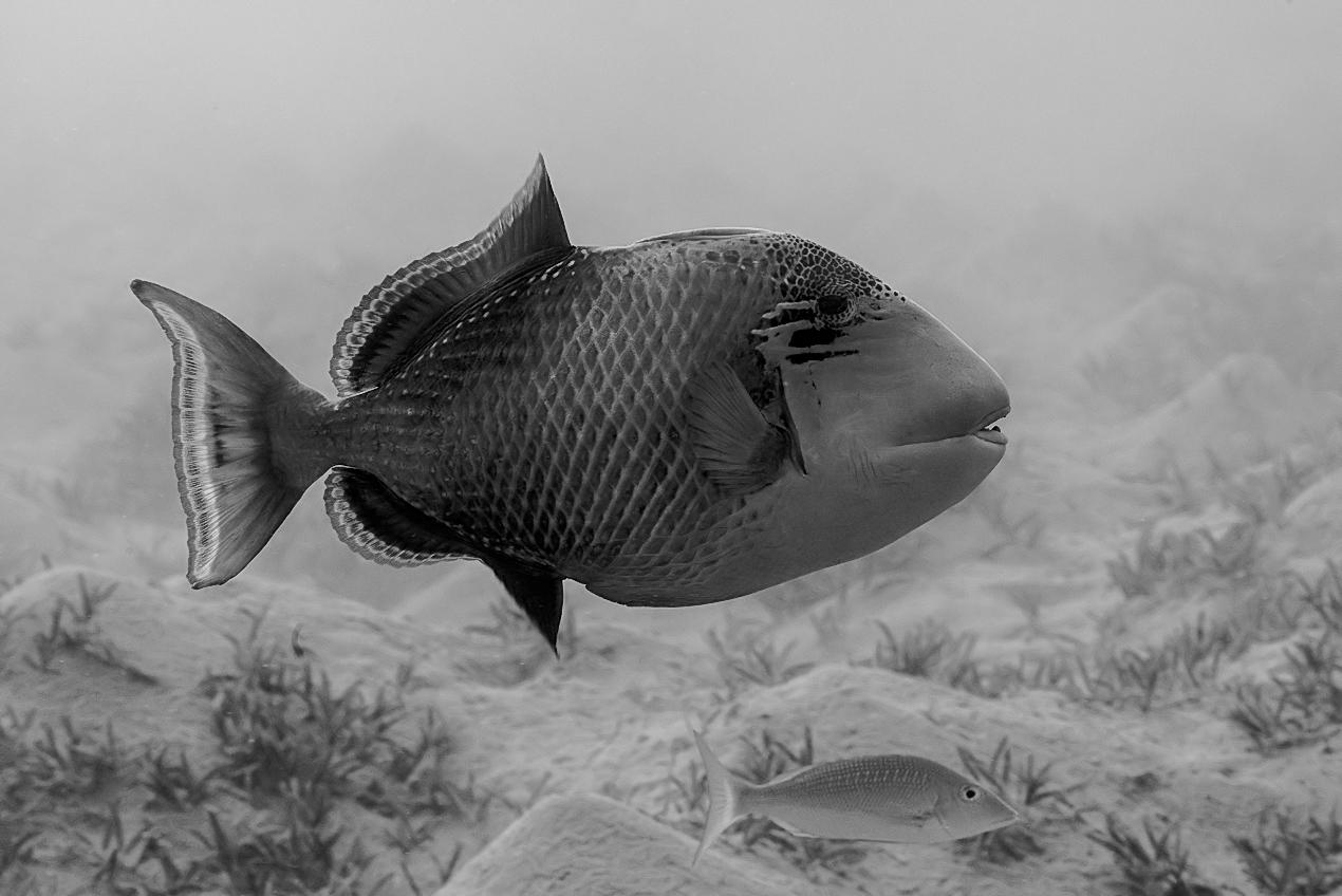 Yellow-margin triggerfish (Pseudobalistes flavimarginatus)