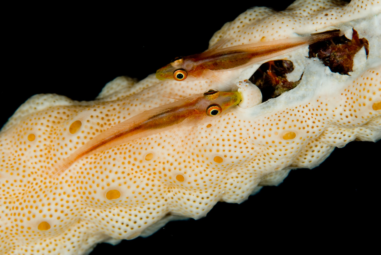 host gobies (Pleurosicya sp) on sponge-encrusted rope