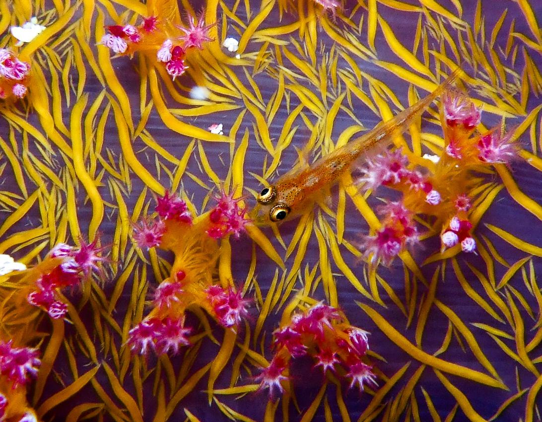 tiny host goby on soft coral (Pleurosicya sp)