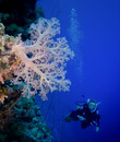 Steina approaching a nice soft coral