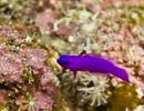 Fridman's dottyback (Pseudochromis fridmani)