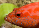 Halvprickad havsabborre (Cephalopholis hemistiktos)