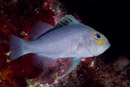 Red Sea soapfish (Diploprion drachi)