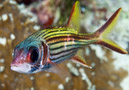 Bloodspot squirrelfish (Neoniphon sammara)