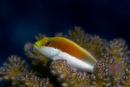 Forster's hawkfish (Paracirrhites forsteri)