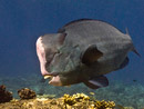 Humphead parrotfish Bolbometopon muricatum)