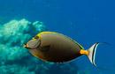 Orangespine surgeonfish (Naso lituratus)
